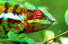 People Pleasing Chameleon